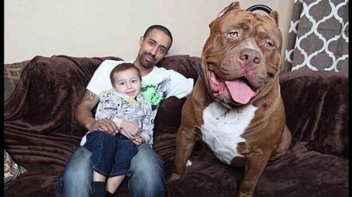 El pitbull más grande del mundo
