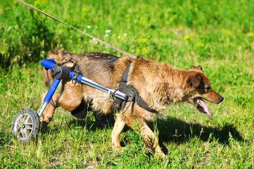 Descubre la vida de los perros en sillas de ruedas