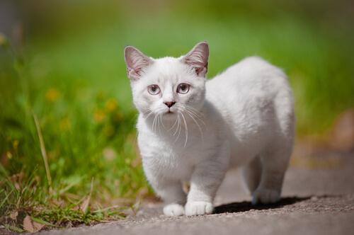 Razones por las que debes tener un gato Munchkin en tu vida