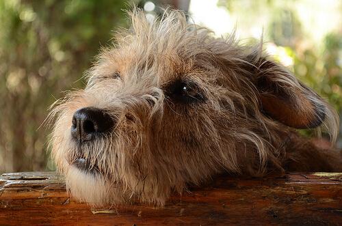¿Pueden los perros sentir culpabilidad por sus travesuras?