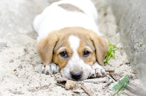 ¿Vas a adoptar un cachorro? Recuerda que no es una persona