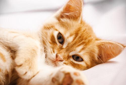 Reconocer las infecciones de orina en gatos