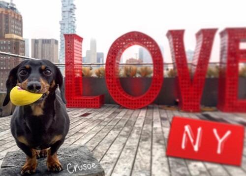 Conoce la historia del perro salchicha que limpia las calles de Nueva York