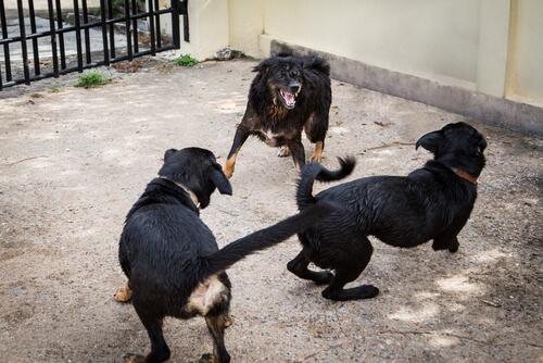 La policía rescató 230 perros que se utilizaban en peleas a muerte