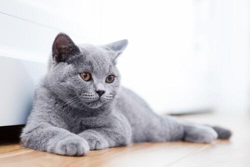 13 razas de gatos que no sabías que existían