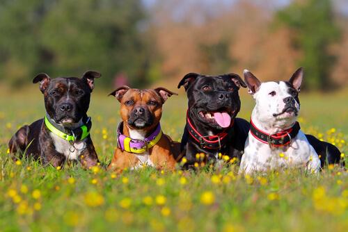 Por qué hay tantas razas de perros en el planeta