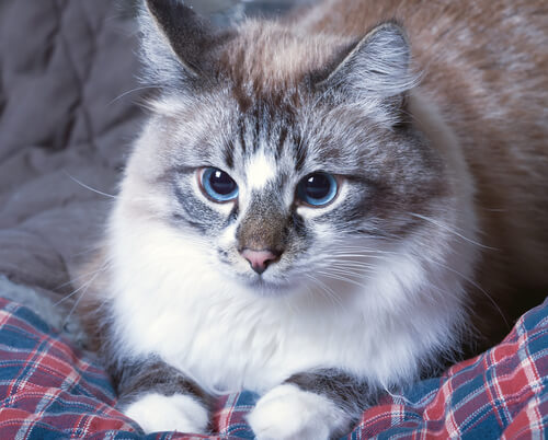 Qué hacer ante los vómitos de los gatos
