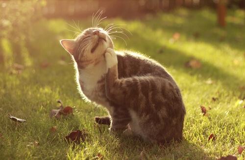 ¿Qué es el acné felino?