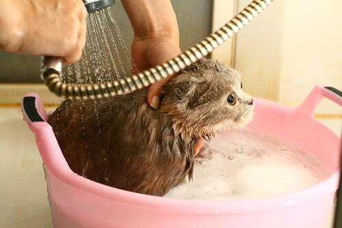 ¿Cada cuánto hay que bañar a un gato?