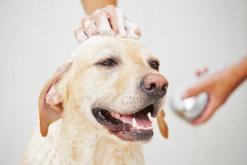 ¿Se puede bañar a una perra en celo?