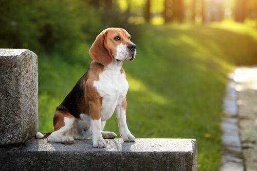Beagle: descubre todo sobre esta raza