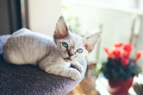Devon Rex, un gato que siempre necesita compañía