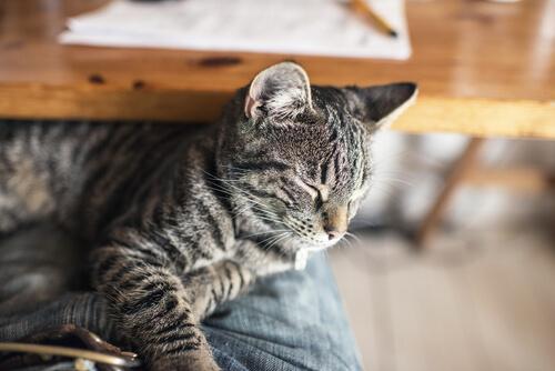 Qué hacer en caso de envenenamiento en gatos