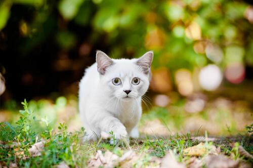 ¿Por qué deberías tener un gato Munchkin en tu vida?