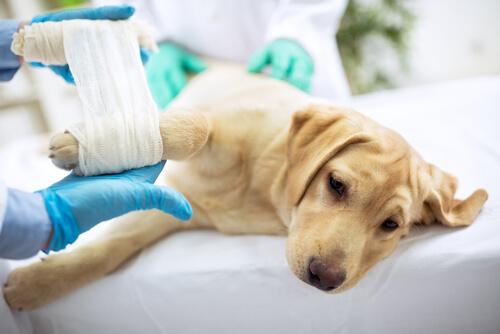 Heridas en los perros