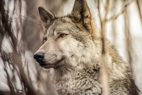 Lobo en el campo