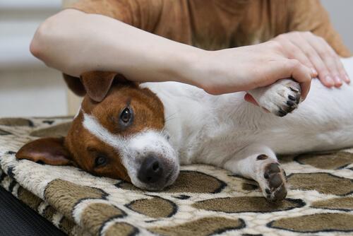 ¿Ya sabes cómo hacer un masaje a tu perro?