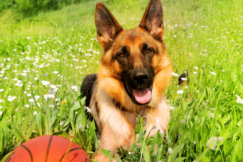 German Shepherd laying in the grass with a basketball