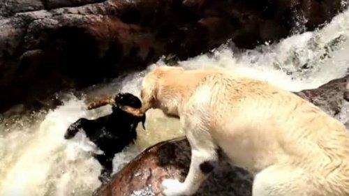 Perro salva a otro de ser ahogado en un río