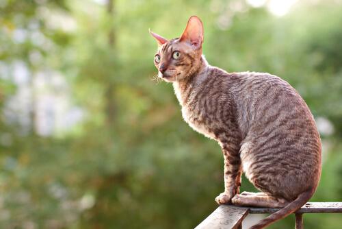 ¿A cuántas de estas 15 razas de gatos conoces?