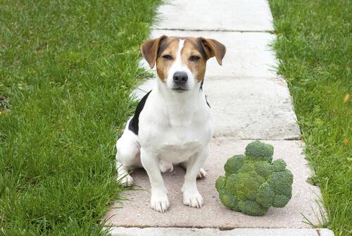 Brócoli en la dieta del perro