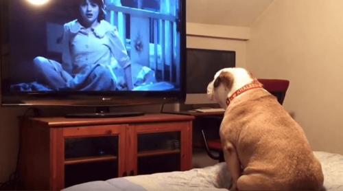 A este Bulldog inglés le encantan las películas de terror