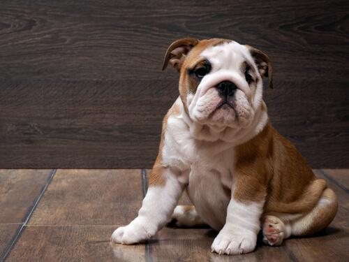 Bulldog ingles sentado