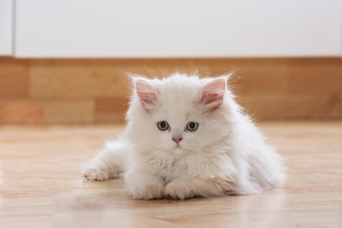Gato blanco tumbado en el suelo