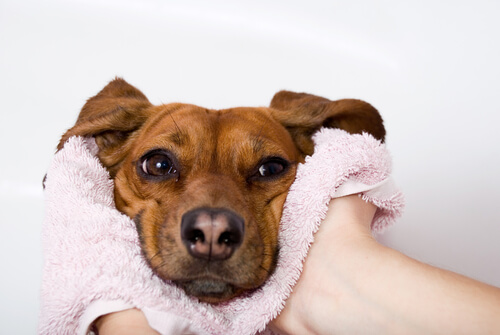 Cuándo la nariz seca es una alerta de enfermedad en los perros