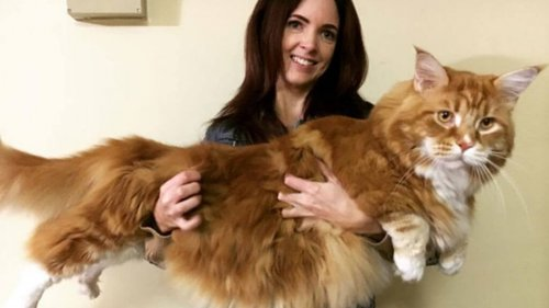 Conoce al gato más largo del mundo