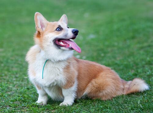El Corgi: conoce esta raza de perro