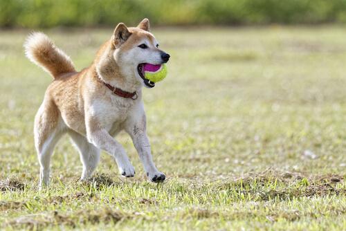 Shiba, el conocido como perro-gato