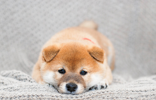 Cachorro Shiba