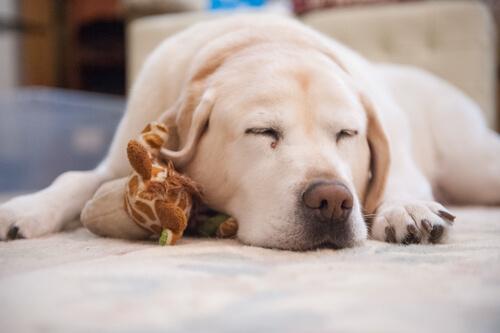 Todo lo que debes saber sobre el sueño de tu perro