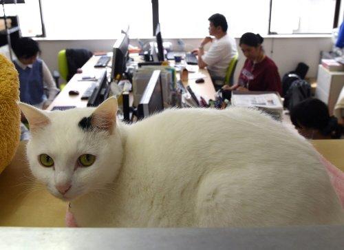 Gato blanco en la oficina