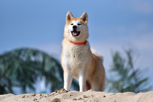 Perro akita en la playa