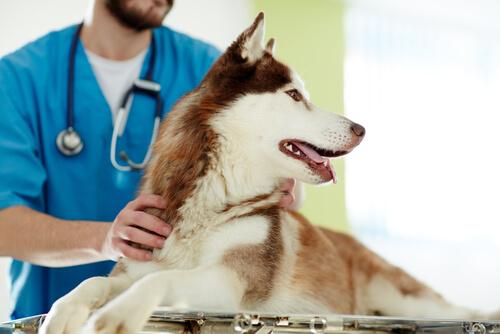 Castrar a un perro: ventajas y desventajas