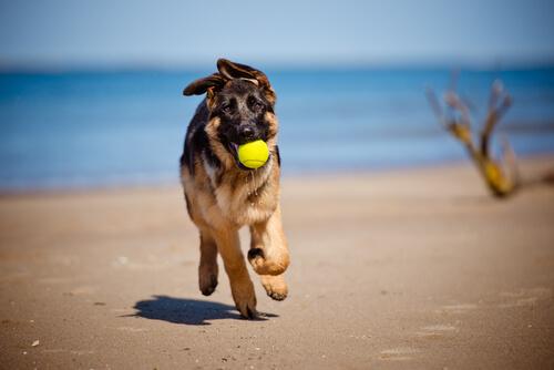 Perro corriendo por la playa con una pelota