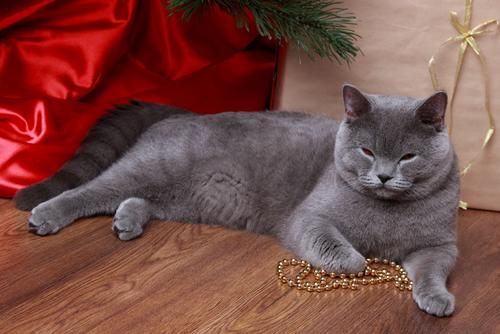 Gato acostado con un collar