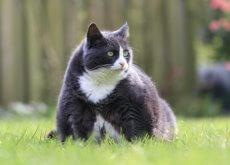 Gato con sobrepeso en el cesped