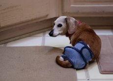 Perro minusvalido acostado