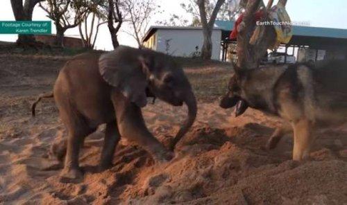 El pastor alemán y el bebé elefante, una amistad más allá de las apariencias