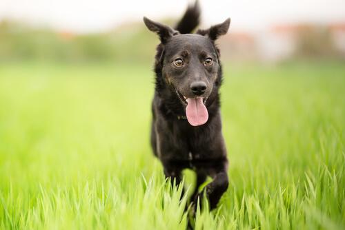 ¿Por qué un perro criollo es único?