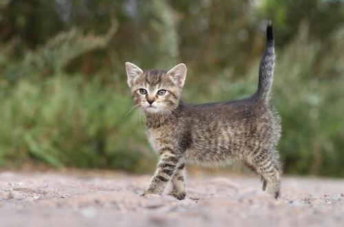 Las posiciones de la cola, expresividad del gato