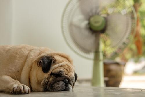 ¿Debo ponerle un ventilador a mi perro si hace calor?