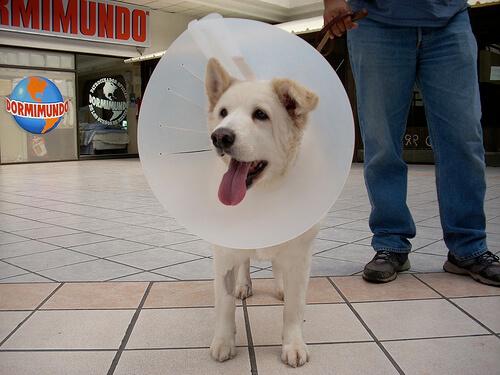Alternativas del collar isabelino en perros