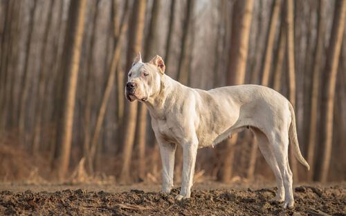 Las razas de perros americanos más populares