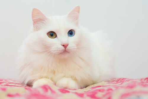 Turkish Angora cat (long-haired cat breeds) laying on a blanket