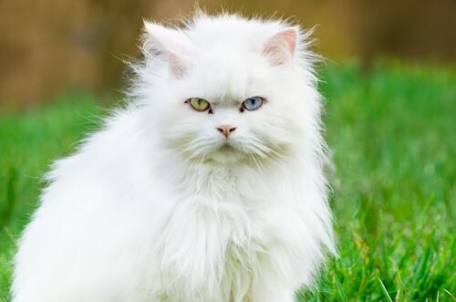 ¿Qué sabes del gato de angora turco?