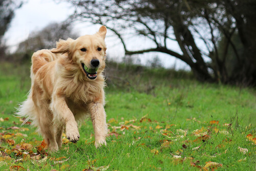 La bondad del golden retriever